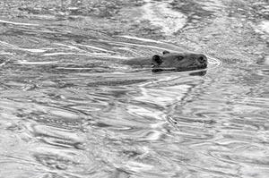 Sky, water, beaver